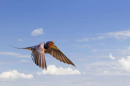 Swallow in flight, on blue skies and puffy white clouds backdrop  Stock Photo