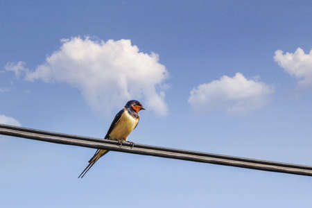 Swallow resting on power cable, with blue skies and puffy white clouds in the background