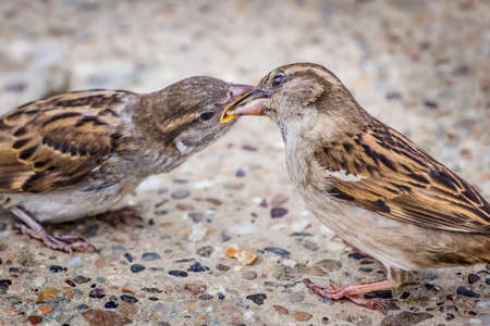 pet photography: Photograph of youngling yellow-beak Sparrow fed by its parent  Stock Photo