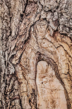 peeled off: Very old, weathered tree trunk, with wound mark and partially peeled off bark