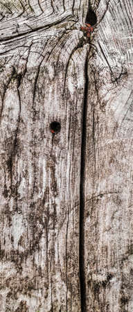 railroad tie: Old, weathered, rotten railroad tie, with lateral curved cracks, lichen, fungi and red Milkweed bugs  Stock Photo