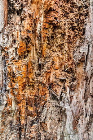 decomposed: Old Rotten Stump overwhelmed by the advanced process of Decay, with traces of dry Moss, Fungi and Lichen on decomposed wooden tissue.