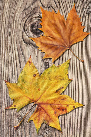 garden table: Dray Maple Leaves On Old Knotted Wooden Garden Table