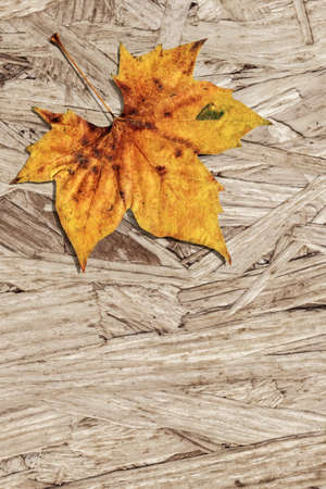 Dray Maple Leaf On Grunge Wooden Chipboard Background Stock Photo
