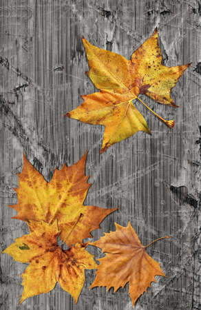 varnished: Dray Maple Leaves On Old Knotted Weathered Cracked Wood Rustic Background