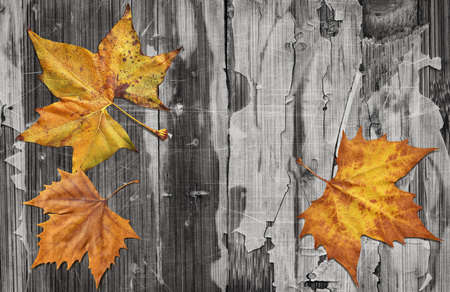 Dray Maple Leaves On Old Knotted Weathered Cracked Wood Rustic Background