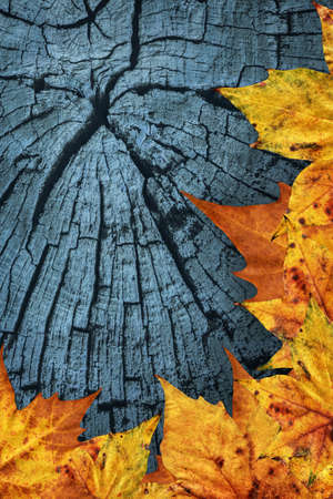 Autumn Dry Maple Leaves On Dark Blue Old Cracked Wood Background