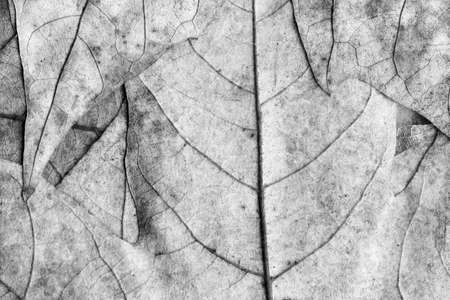 grey pattern: Autumn Fallen Dry Maple Leaves Gray Grunge Background Texture Stock Photo