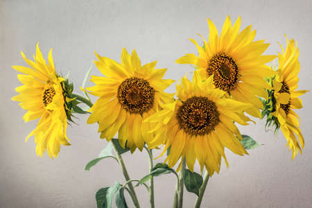 Bunch of Colorful Sunflowers on Vignette Gray Background Zdjęcie Seryjne