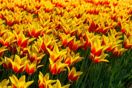 color in: Fresh tulips of orange color in  nature in spring time