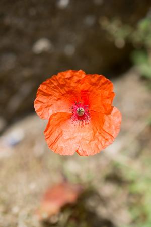 oriental poppy: Beautiful Oriental poppy flowers in nature background Stock Photo