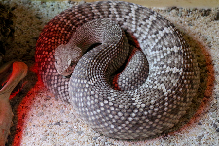 rattlesnake: South American rattlesnake - Crotalus durissus, poisonous, white background Stock Photo
