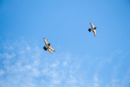 beak pigeon: Twin pigeons in the air with wings wide open