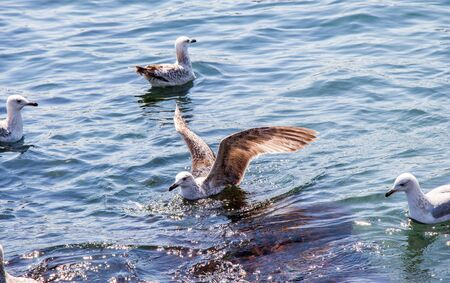 Seagull are in water of the sea