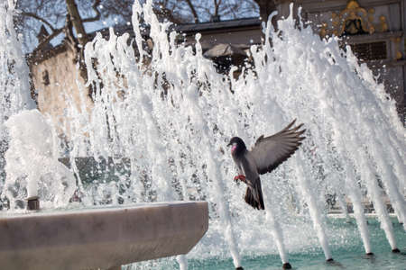 City pigeon by the side of water at a fountain