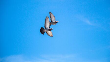 Twin pigeons in the air with wings wide open