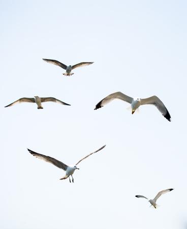 Troep van zeemeeuwen die in de hemel sluipen