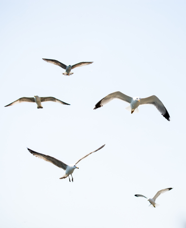 Flock of seagulls skying  in the sky