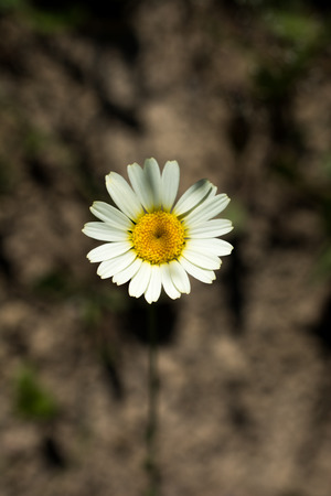Beautiful daisy flowers in nature background Stock Photo