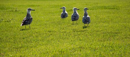 Beautiful seaside bird seagulls on the green grass