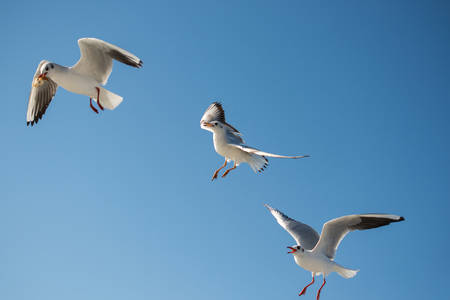 Seagull flying in a blue sky as a background Stock Photo