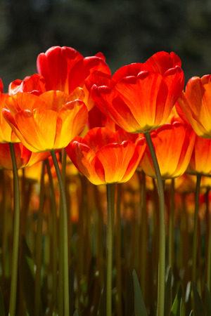Orange color tulip flowers bloom in the garden