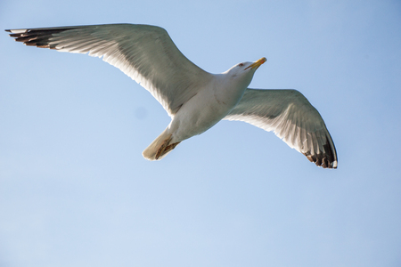 Single seagull flying in a blue sky as a background Фото со стока
