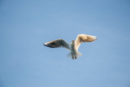 Single seagull flying in a blue sky as a background Stock Photo