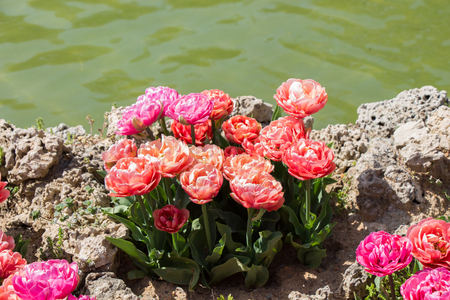 Colorful tulip flowers bloom in spring beside a pond Banco de Imagens