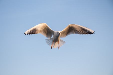 Single seagull flying in a sky as a background
