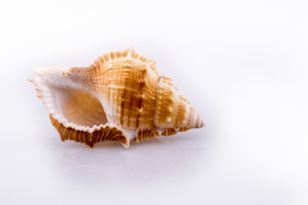 Beautiful sea shell on a white background Stock Photo