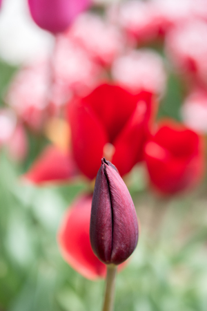 Outstanding colorful tulip flower bloom in the spring  garden Stock Photo
