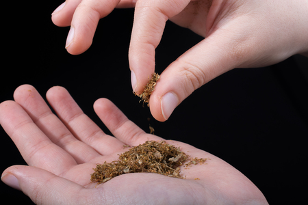 Cut tobacco in hand as a  smoking concept