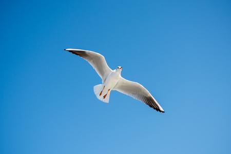 Single seagull flying in a blue sky background Reklamní fotografie - 103093668