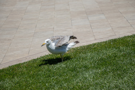 Beautiful seaside bird seagull on the green grass