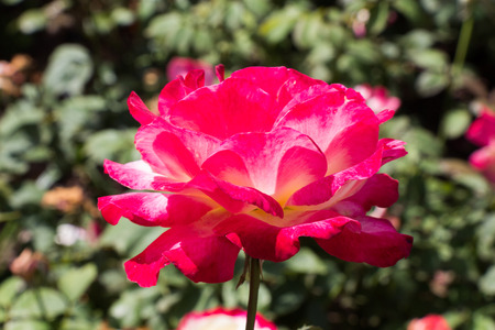 Blooming beautiful colorful rose in garden nature background