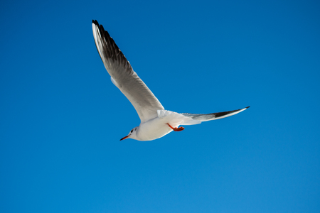 Single seagull flying in a blue sky background Stock Photo - 110727591