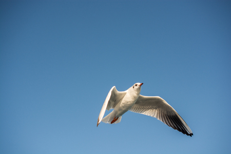 Single seagull flying in a blue sky background