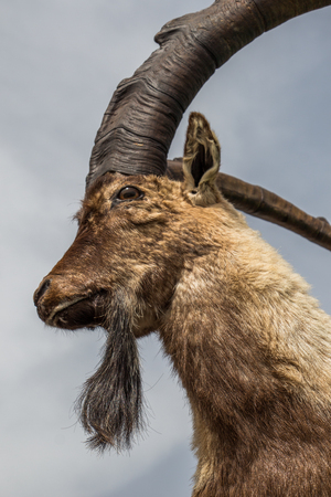 Wild brown mountain goat with two huge horns