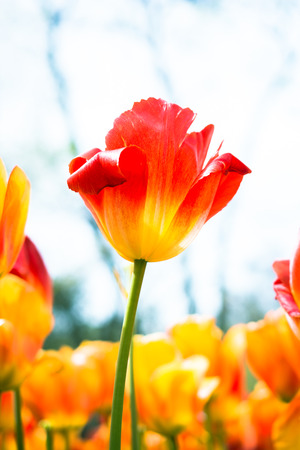 Beautiful tulips flower for postcard beauty concept design Stock Photo