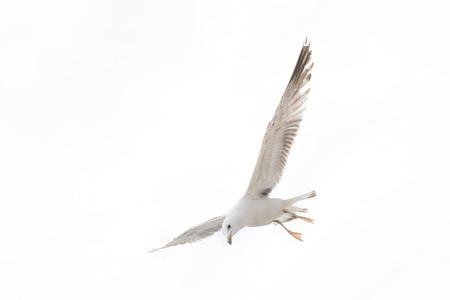 White Seagull on a white background