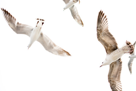 White Seagulls on a white background