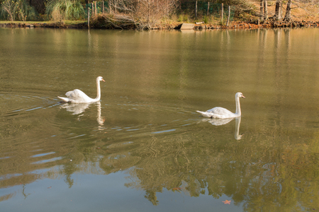 Lonely swans live in the natural environment