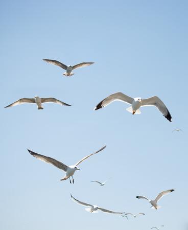 Stado mew latających po niebie