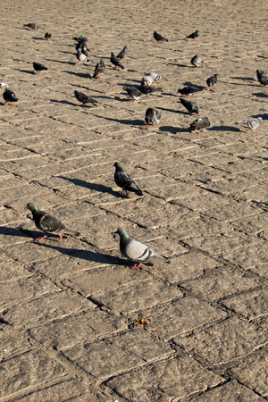 Grey pigeons live in large groups in an urban environment