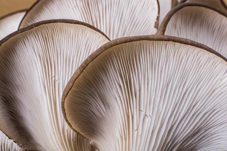 Champignon pleureur ou Pleurotus ostreatus comme champignon facilement cultivé