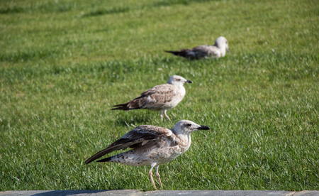 Beautiful seaside bird seagulls on the green grass