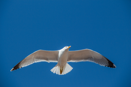 Single seagull flying in a blue sky as a background