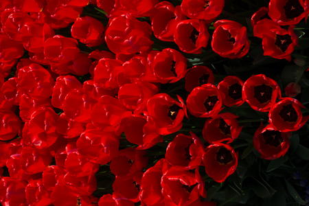 Red color tulip flowers bloom in the garden Imagens