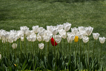 White color tulip flowers bloom in the garden